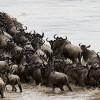 Wildebeest Migration: Human Herd to Attempt Their Own Migration